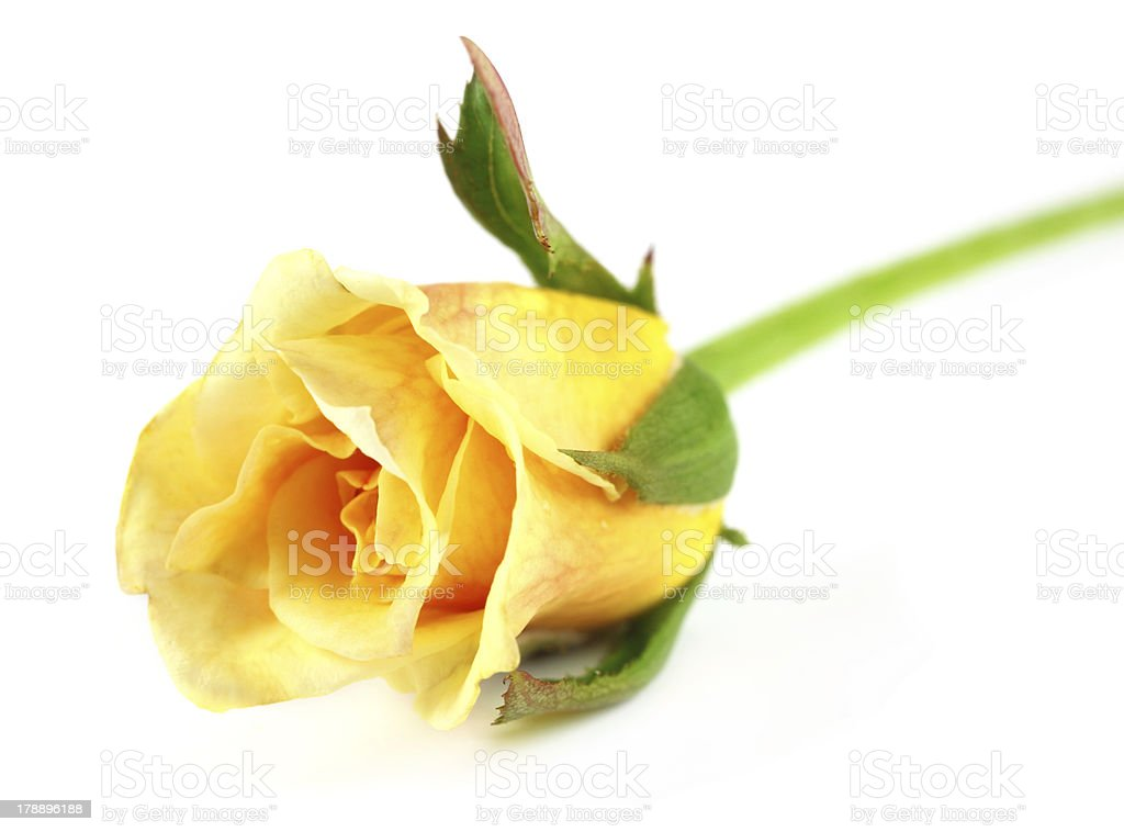 Rose bud royalty-free stock photo