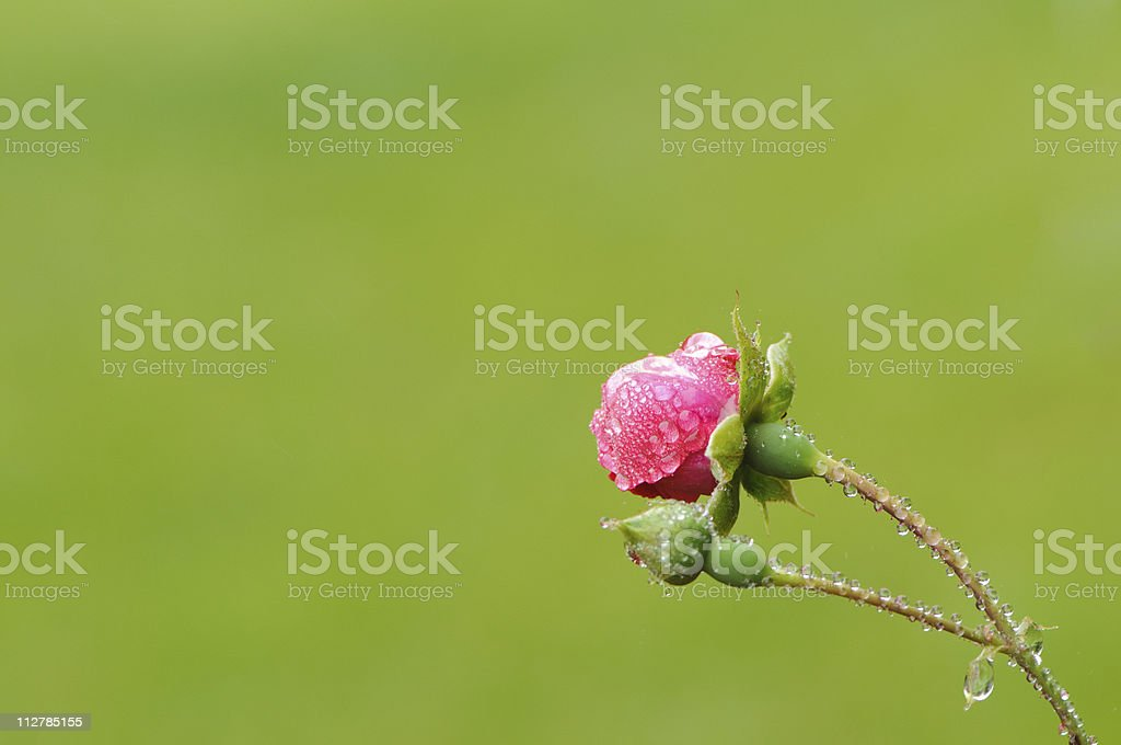 Rose buds covered with dew drops stock photo