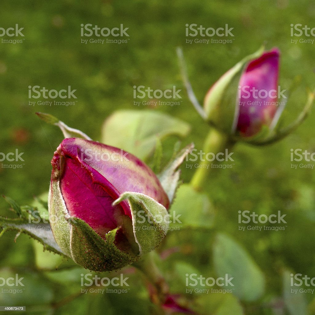 Rose buds in evening light royalty-free stock photo