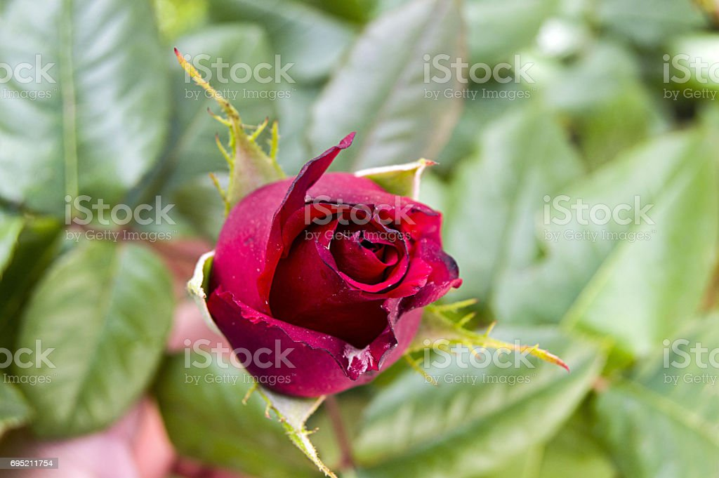 Rose buds prepared to open in spring season, the most beautiful rose bud pictures stock photo