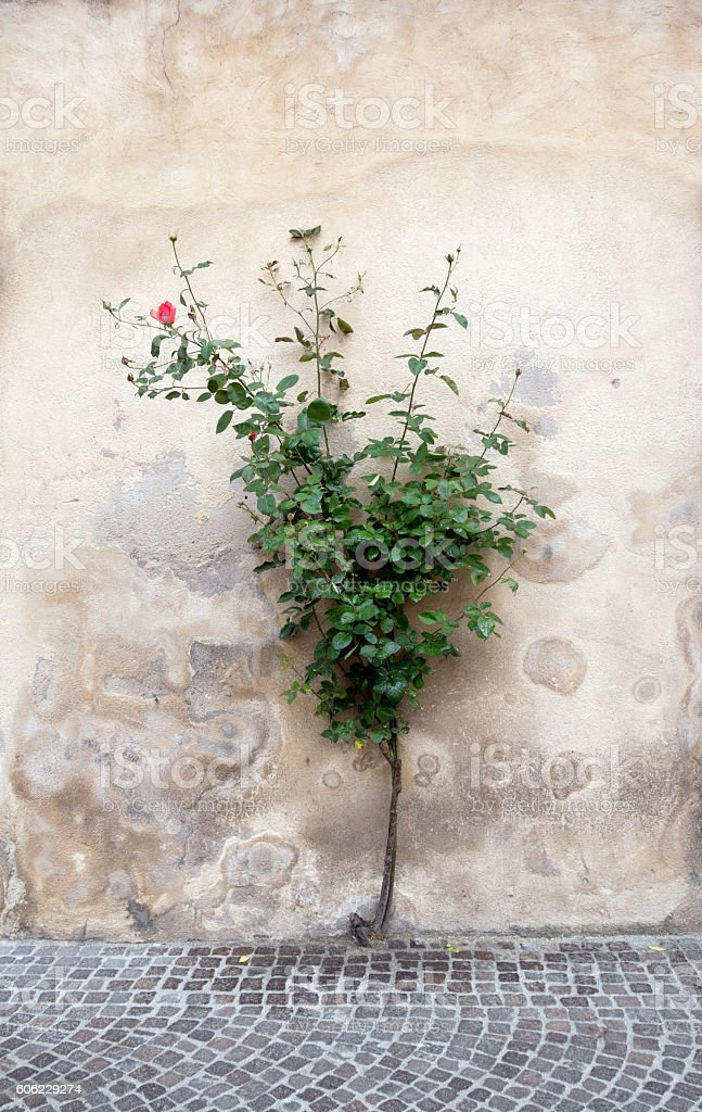 Rose bush growing from the pavement stock photo