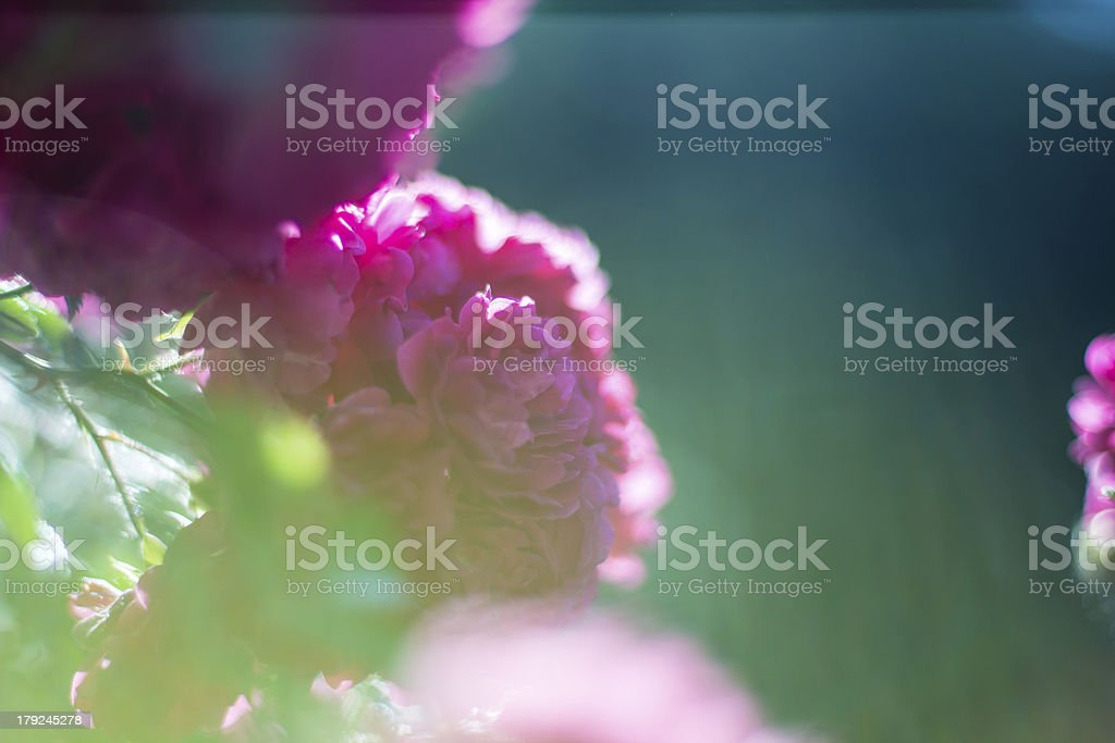 Rose bush in garden . Very gentle and romantic background royalty-free stock photo