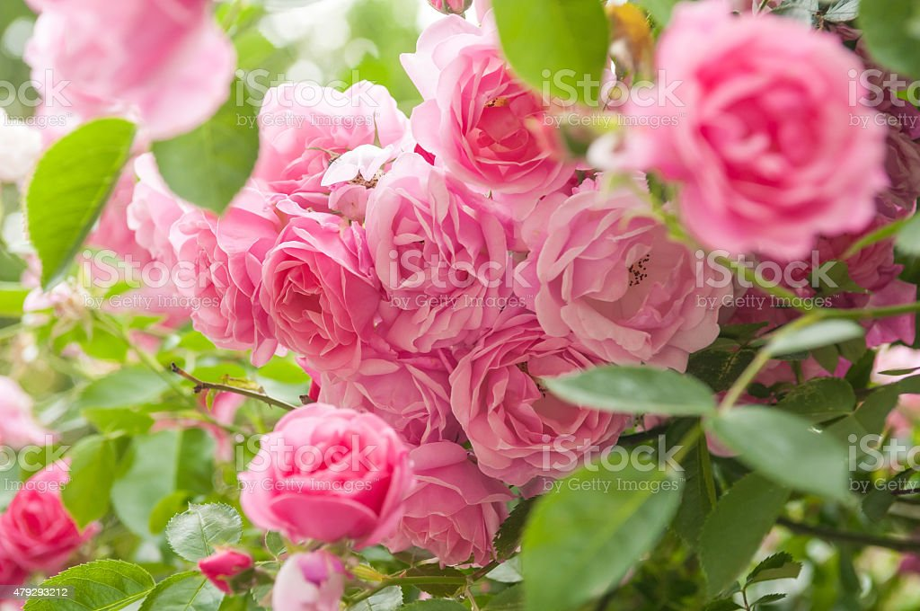 rose bush stock photo