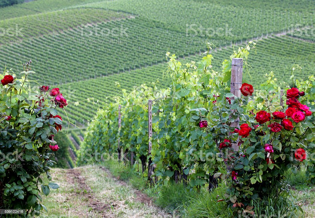 Rose bush, red roses and vineyards in Piedmont, Italy I stock photo