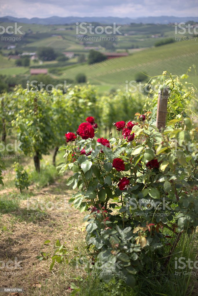 Rose bush, red roses and vineyards in Piedmont, Italy III stock photo