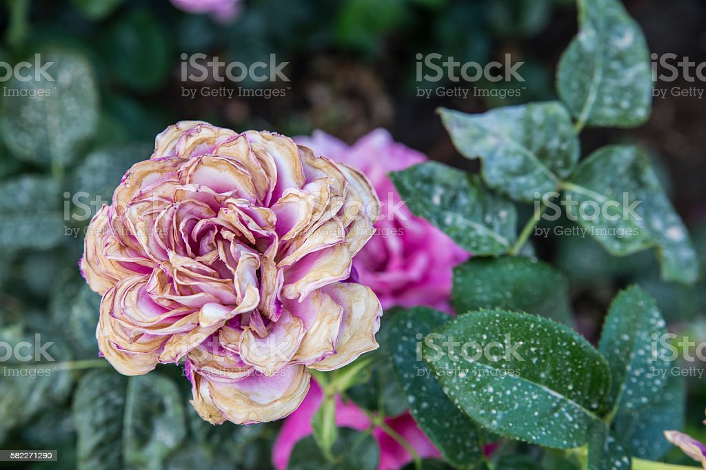rose bush with a wilting rose stock photo