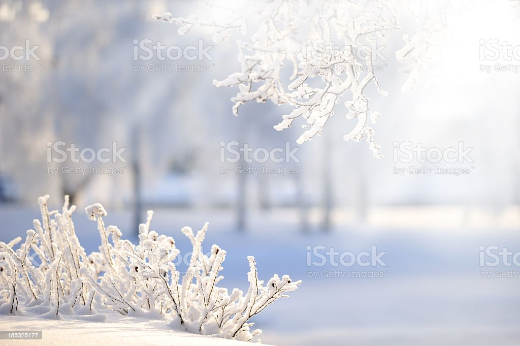 Rose bushes covered with snow stock photo
