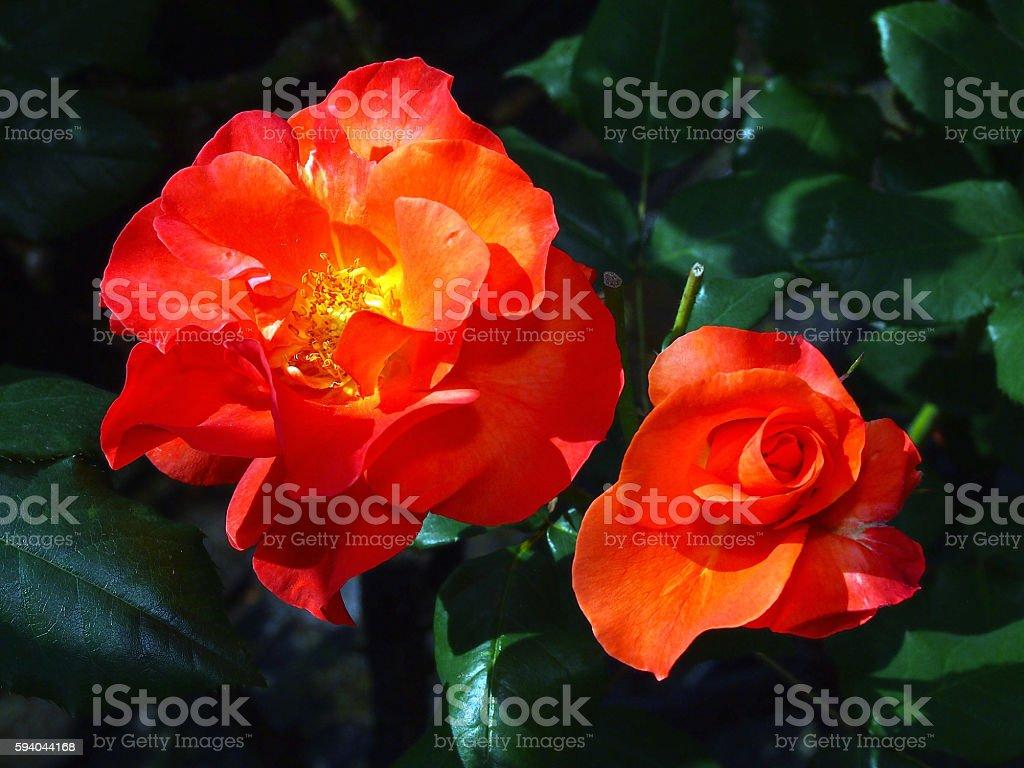 Rose called Crown Princess Mitico stock photo