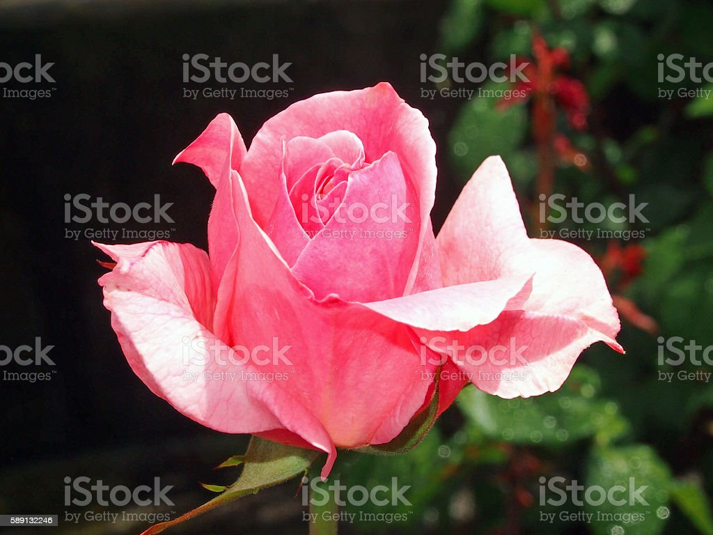 Rose called Queen Elizabeth stock photo