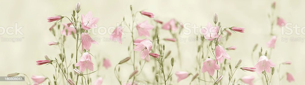 Rose campanula royalty-free stock photo