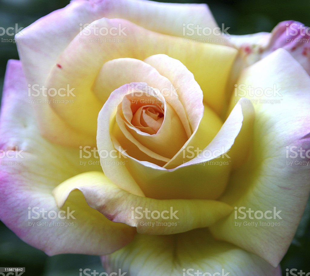 Rose Close Up stock photo