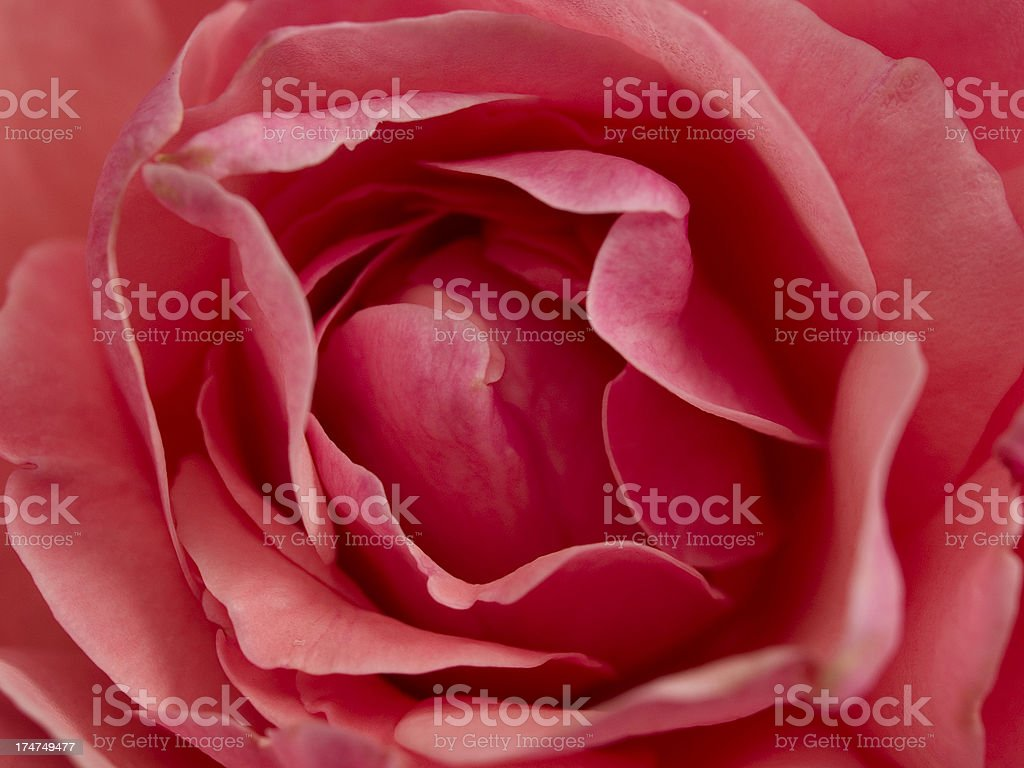 Rose Close Up royalty-free stock photo