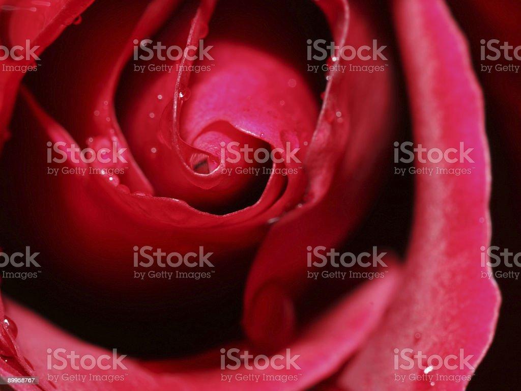 Rose closeup 1 royalty-free stock photo
