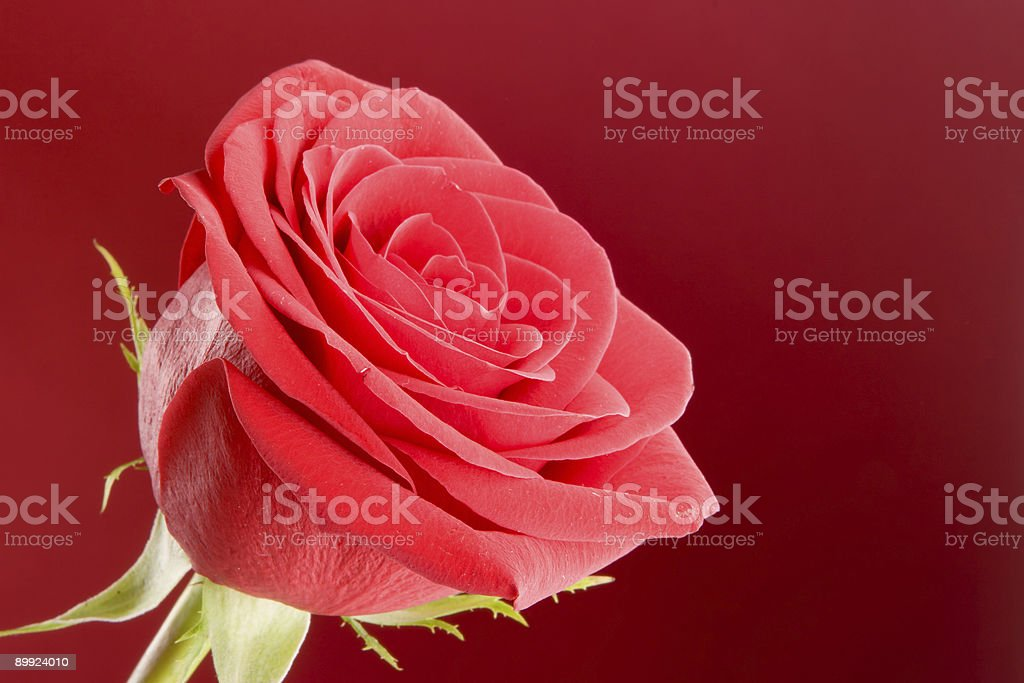 Rose close-up on the red background royalty-free stock photo