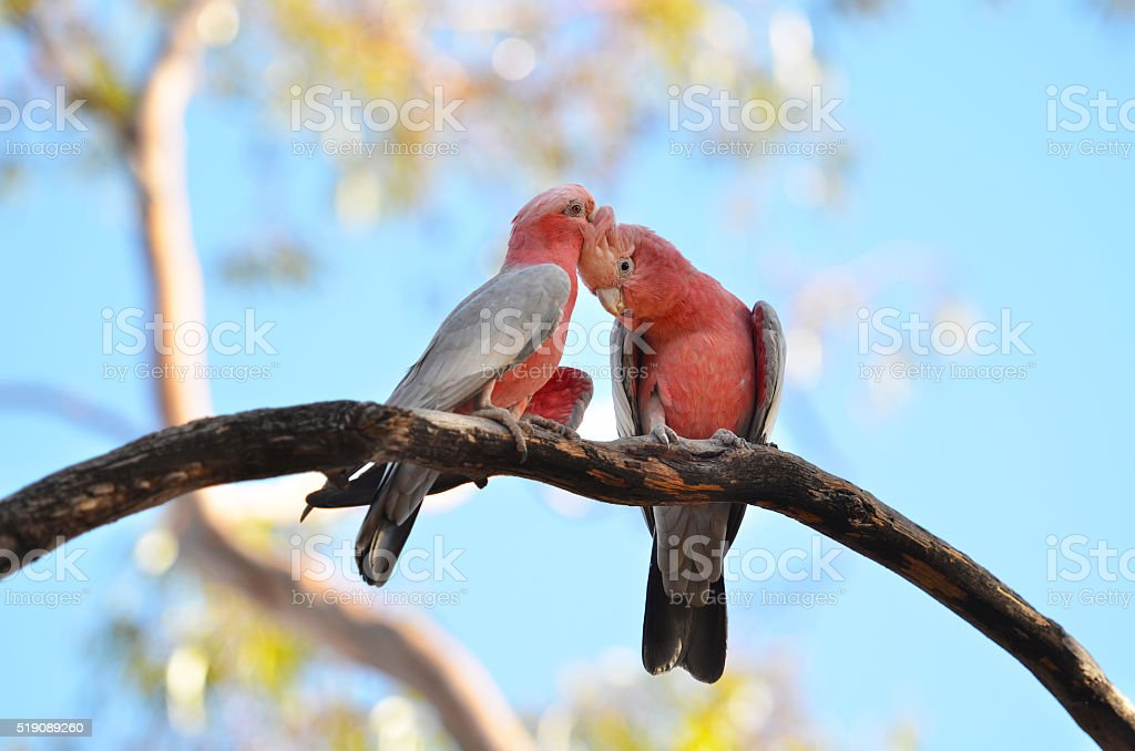 Rose cockatoos in love stock photo