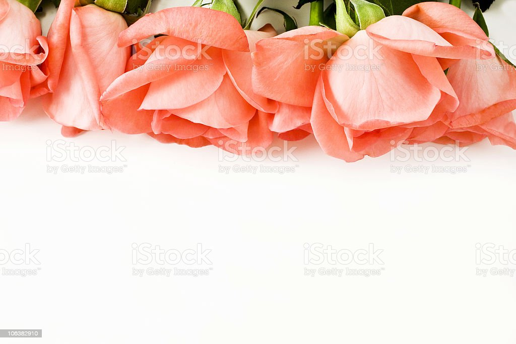 Rose. Color Image royalty-free stock photo