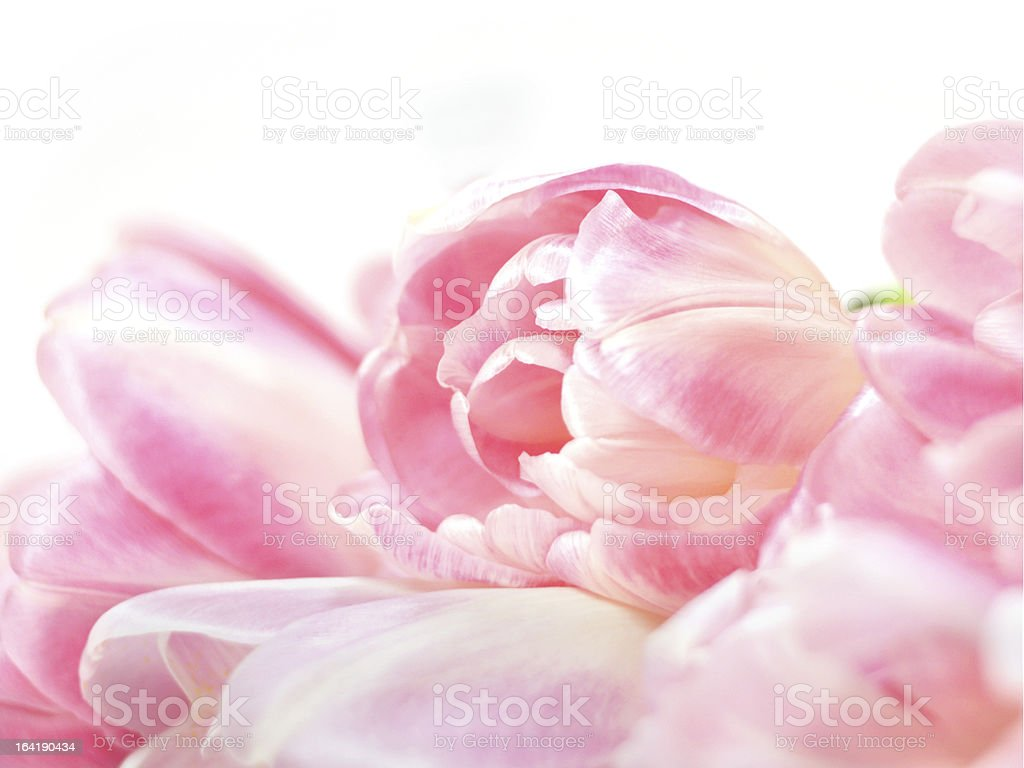 rose colored tulip bouquet, (tulipa) royalty-free stock photo