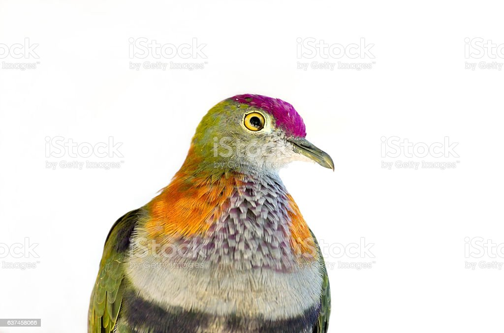 Rose Crowned Fruit Dove Against White stock photo
