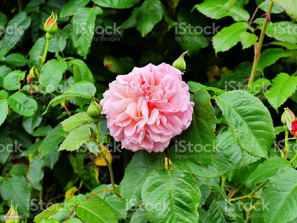rose de tolbiac stock photo