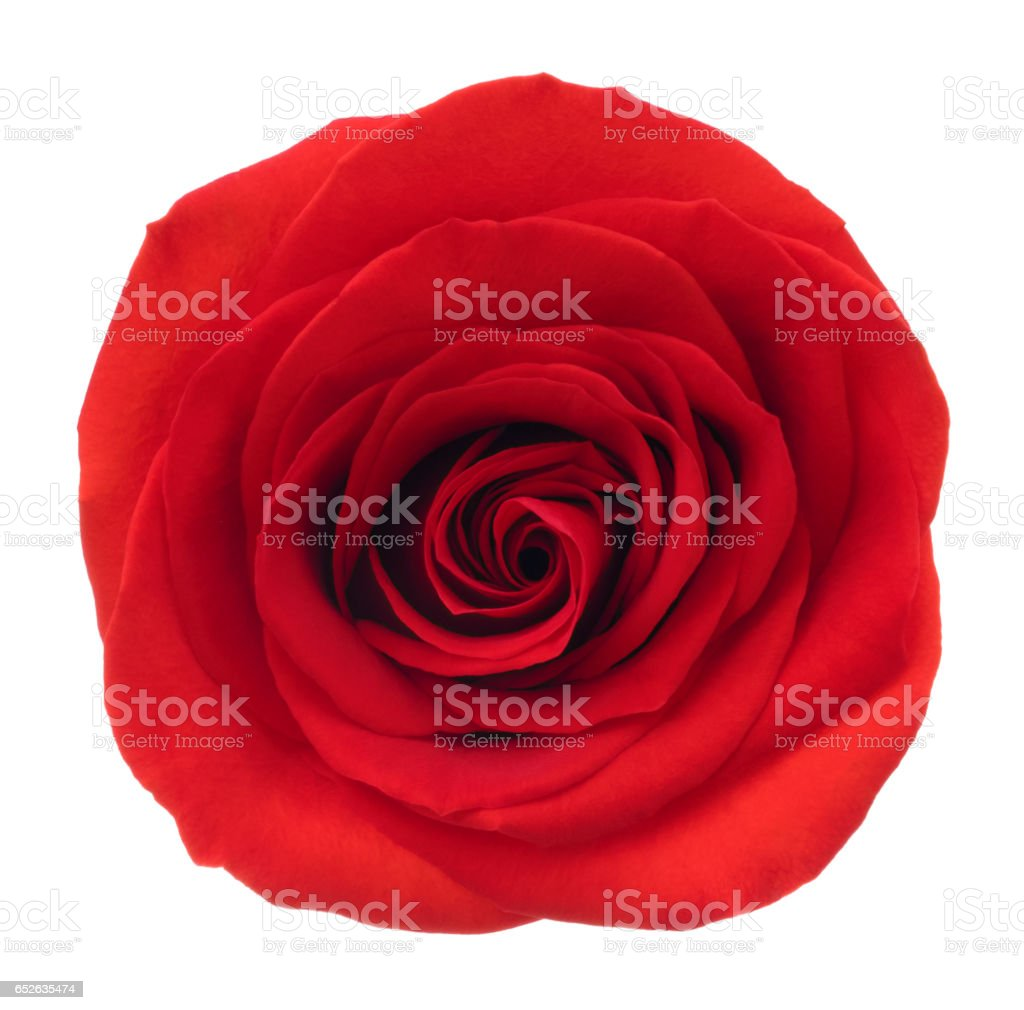 Rose. Deep Focus. No dust. No pollen. stock photo