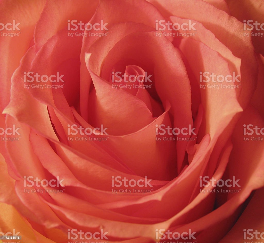 rose detail royalty-free stock photo