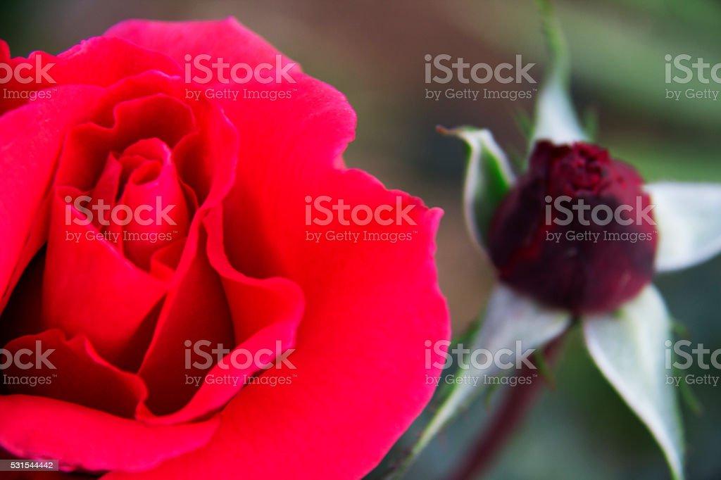 rose detail stock photo