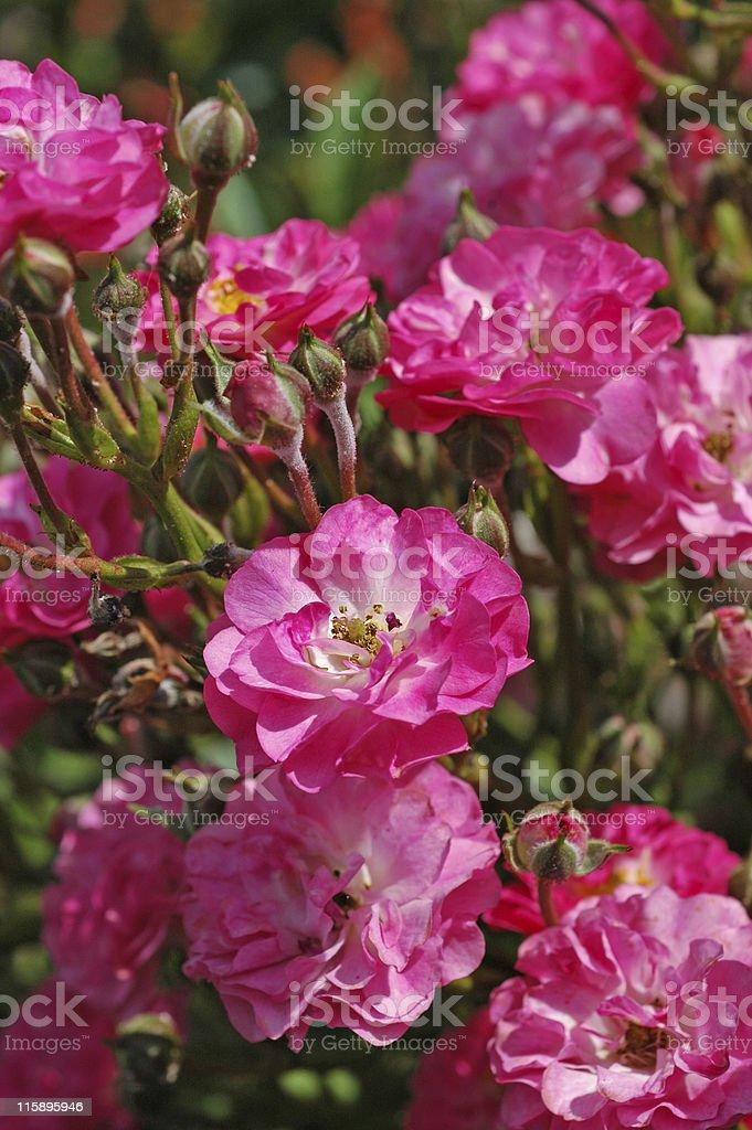 Rose 'Doc' stock photo