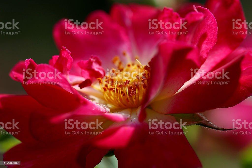 Rose Elements stock photo