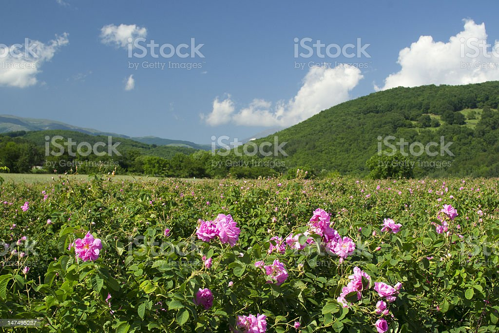 Rose fields royalty-free stock photo