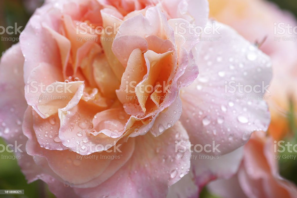Rose flower Augusta Luise royalty-free stock photo