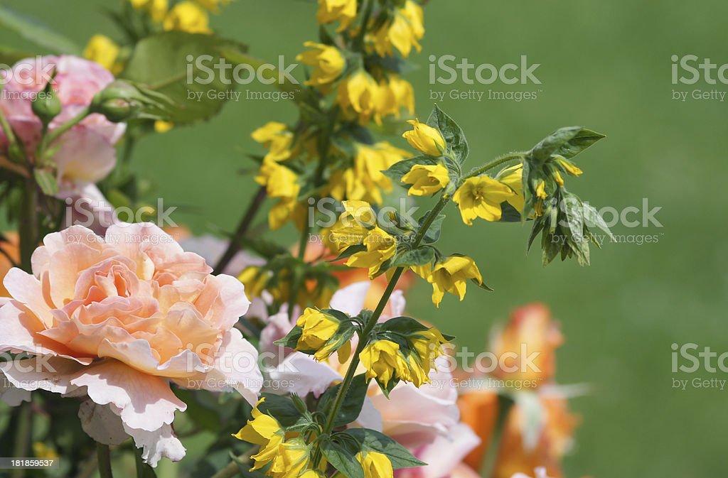 Rose flower Augusta Luise stock photo