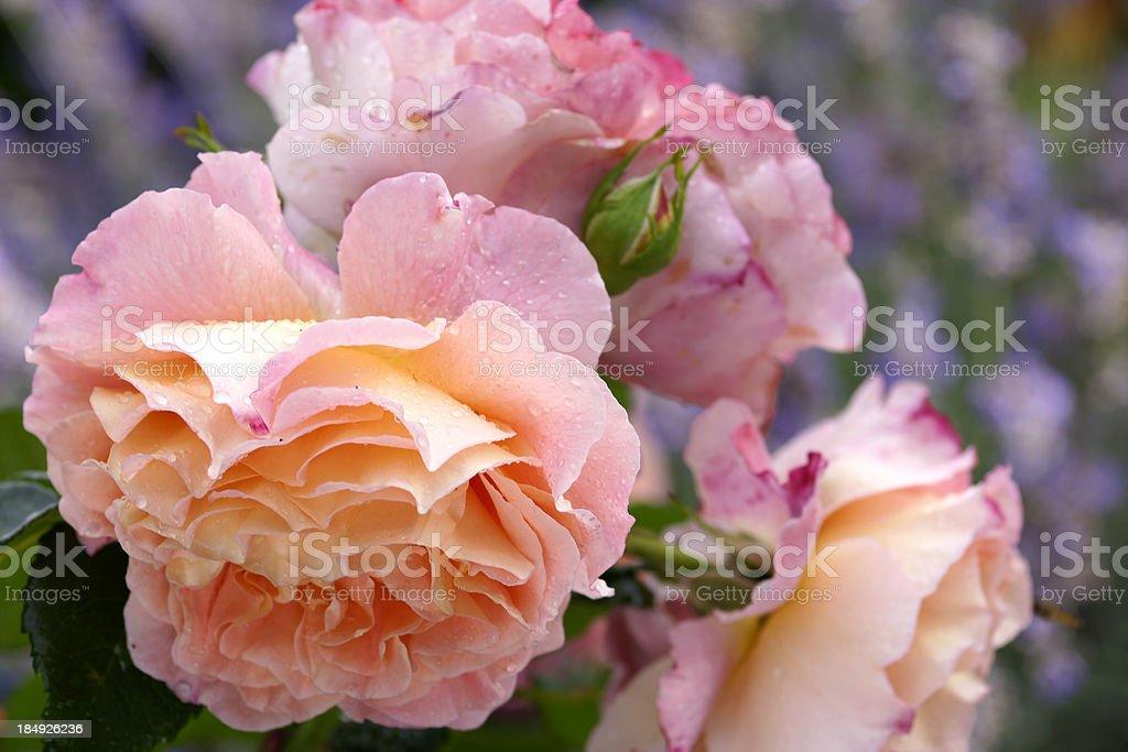 Rose flower Augusta Luise royalty-free stock photo