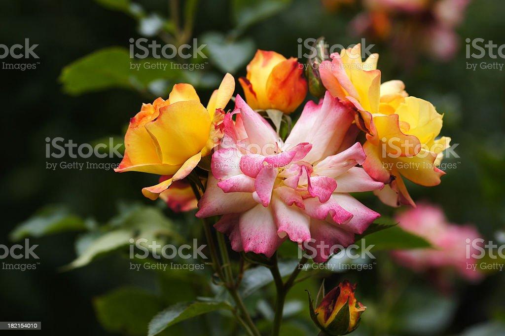 Rose flower Bonanza stock photo