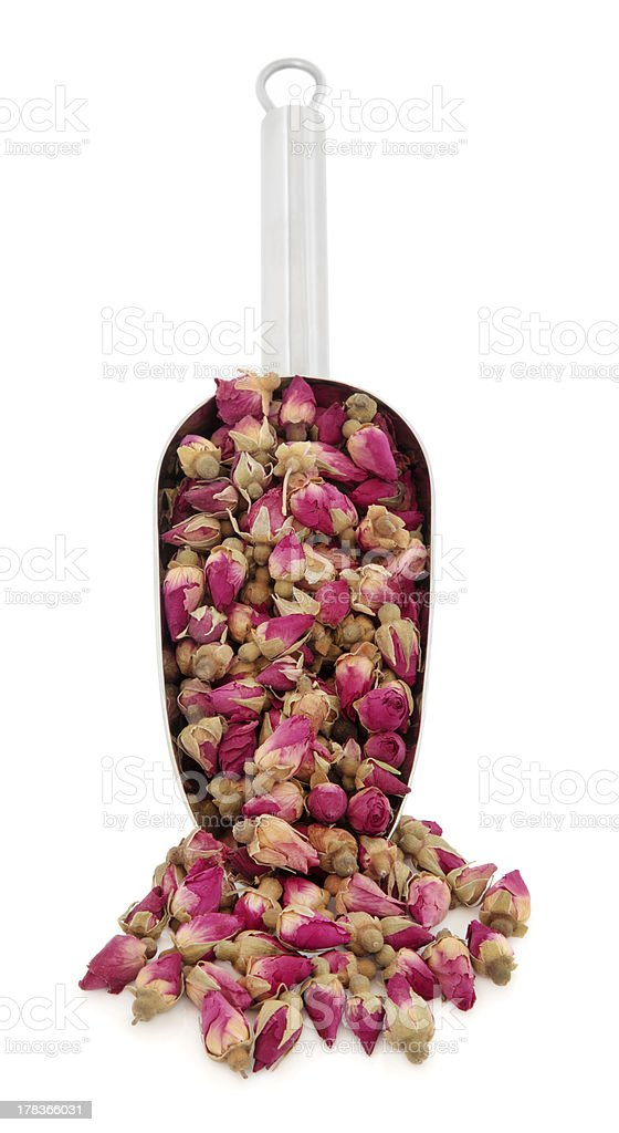 Rose Flower Buds royalty-free stock photo