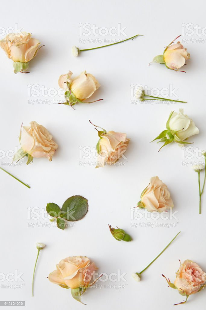 rose flower buds stock photo