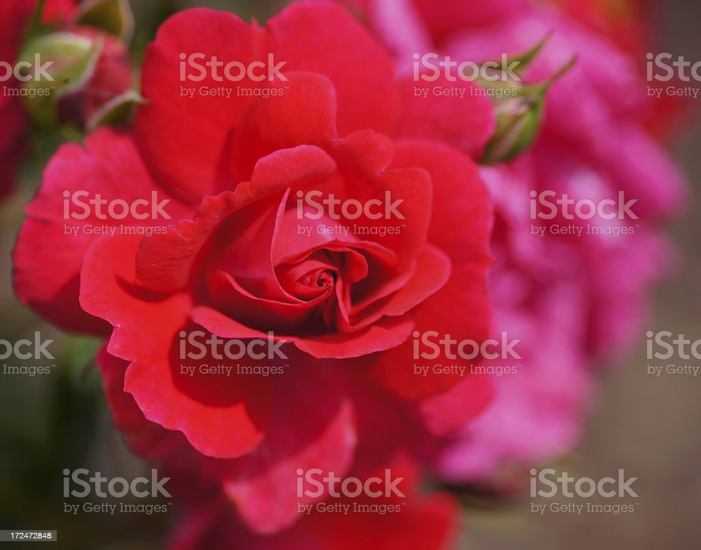 Rose flower Heidefeuer stock photo