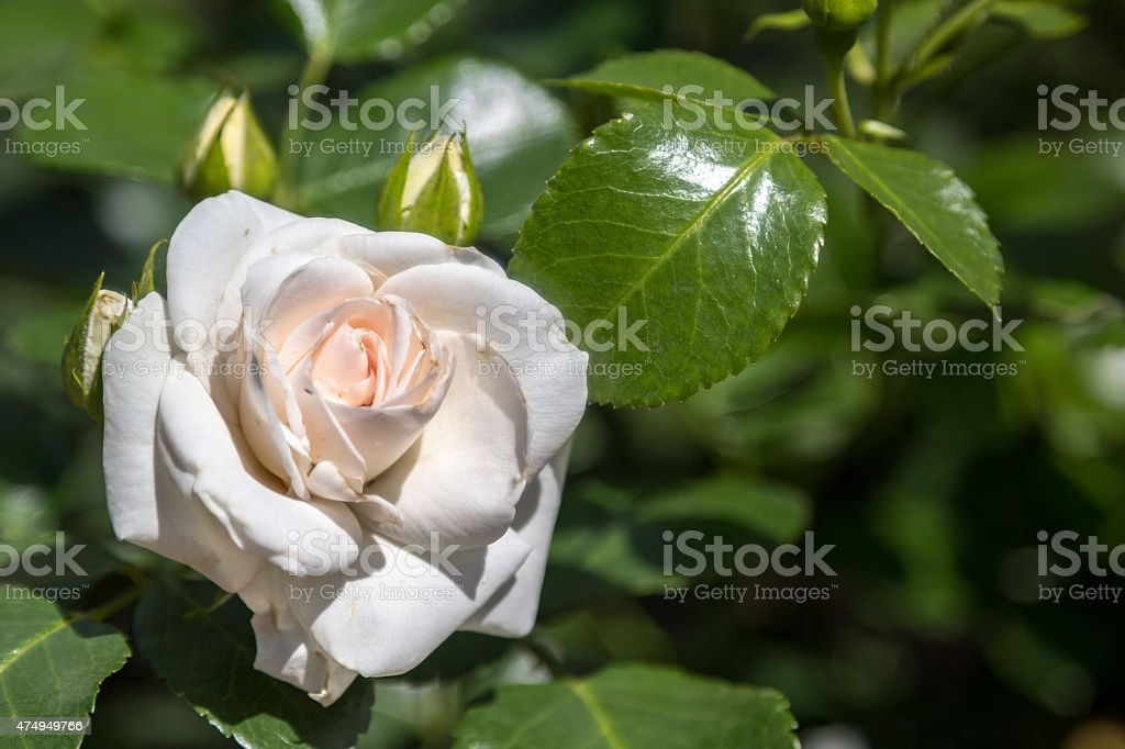 rose flower in the foliage closeup stock photo