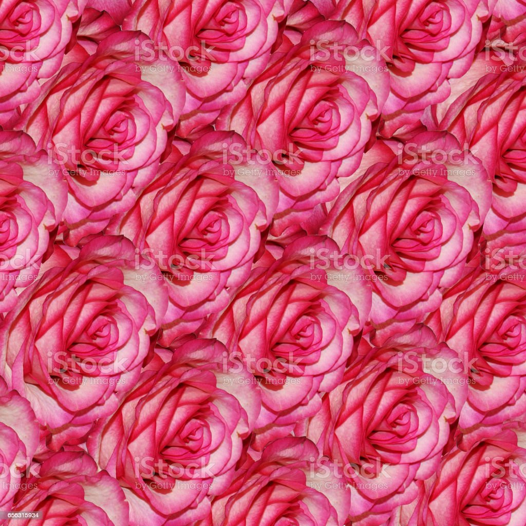 Rose flower is a symbol of beauty. stock photo