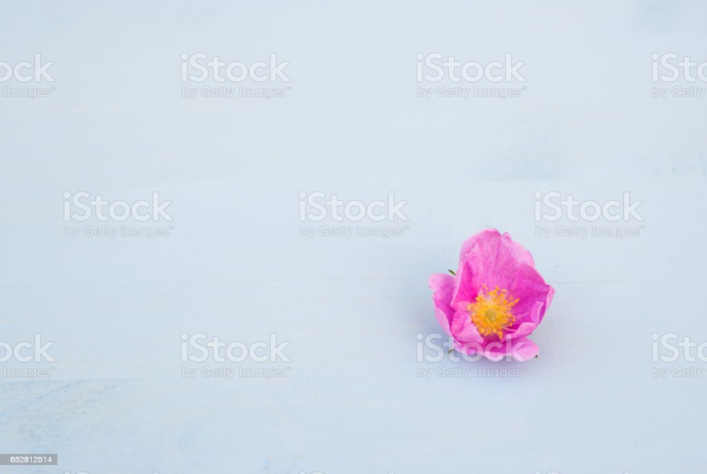 Rose flower on an blue wooden background. Copy space. stock photo