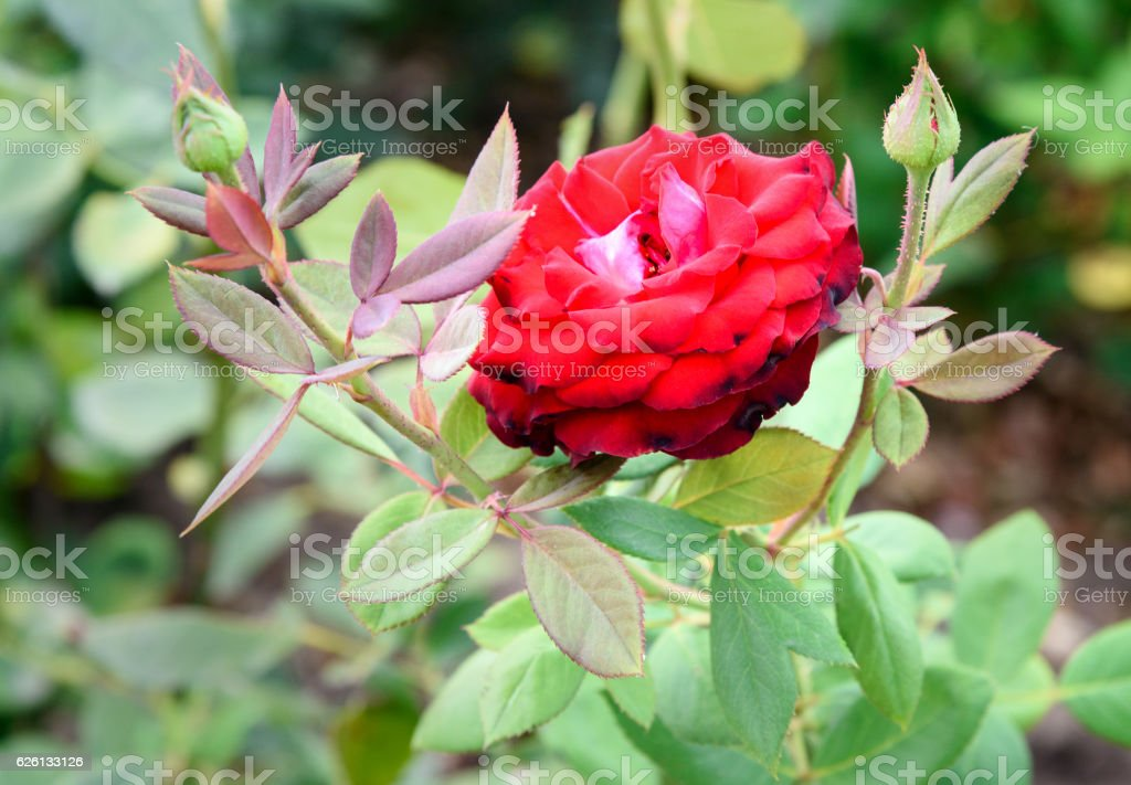Rose flower on flowerbed stock photo