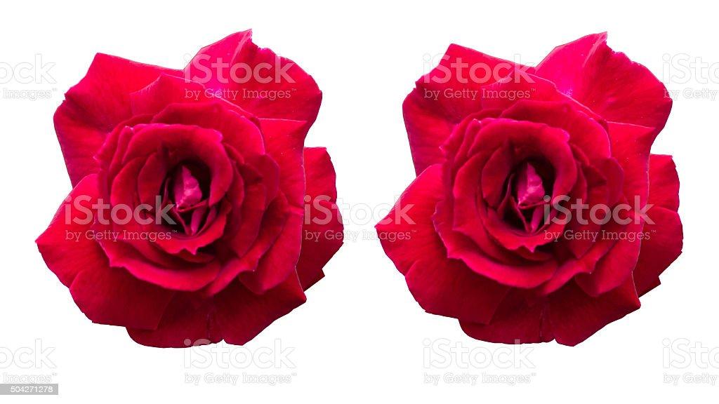 Rosa flor en whitebackground foto de stock libre de derechos