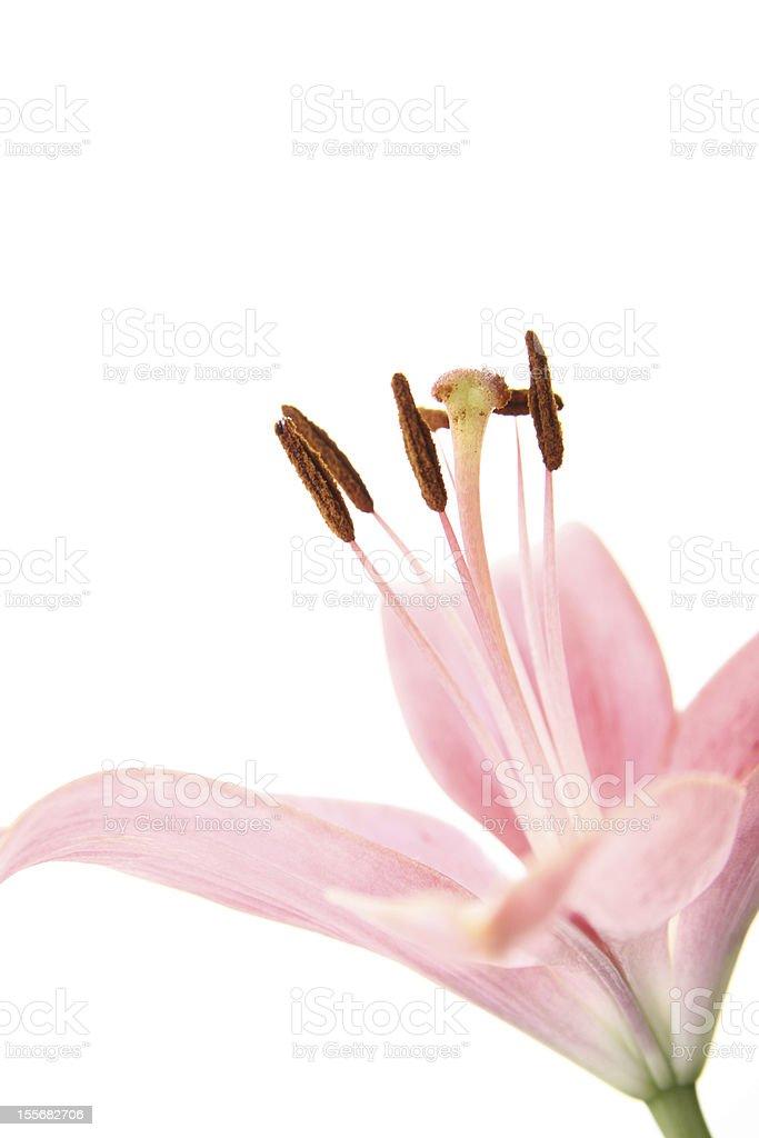Rosa flor foto de stock libre de derechos