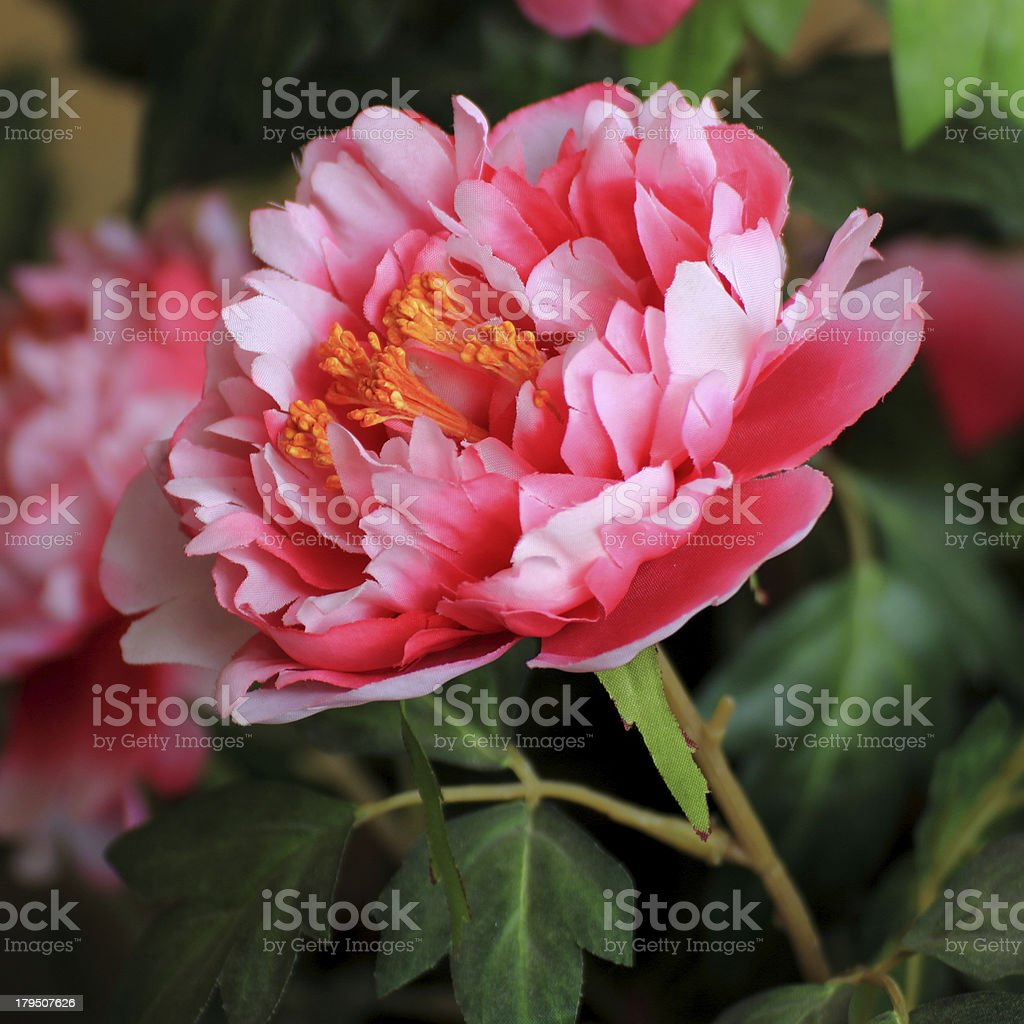 rose flower royalty-free stock photo