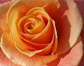 Rose flower.