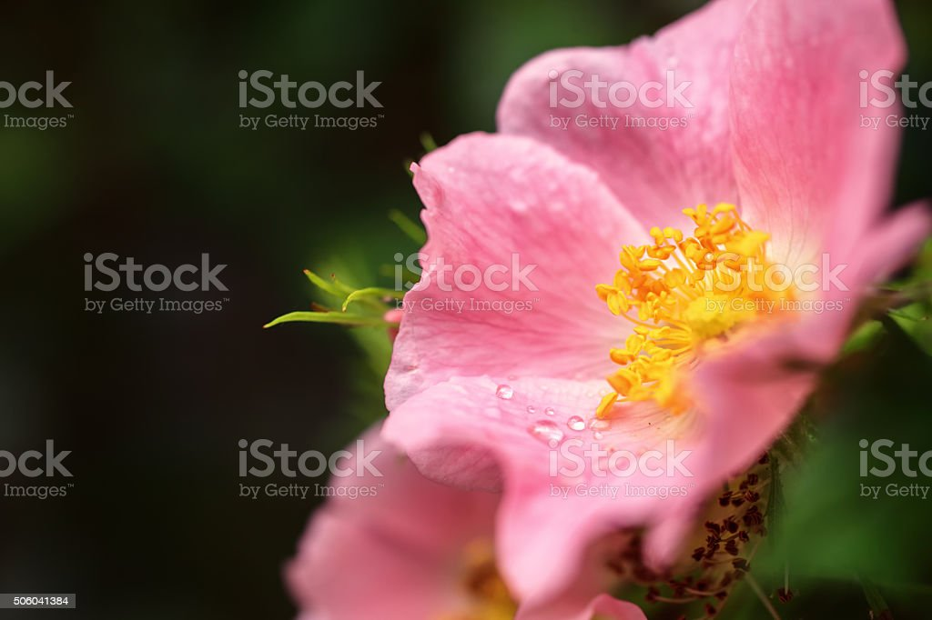 Rose flower with dew drops stock photo