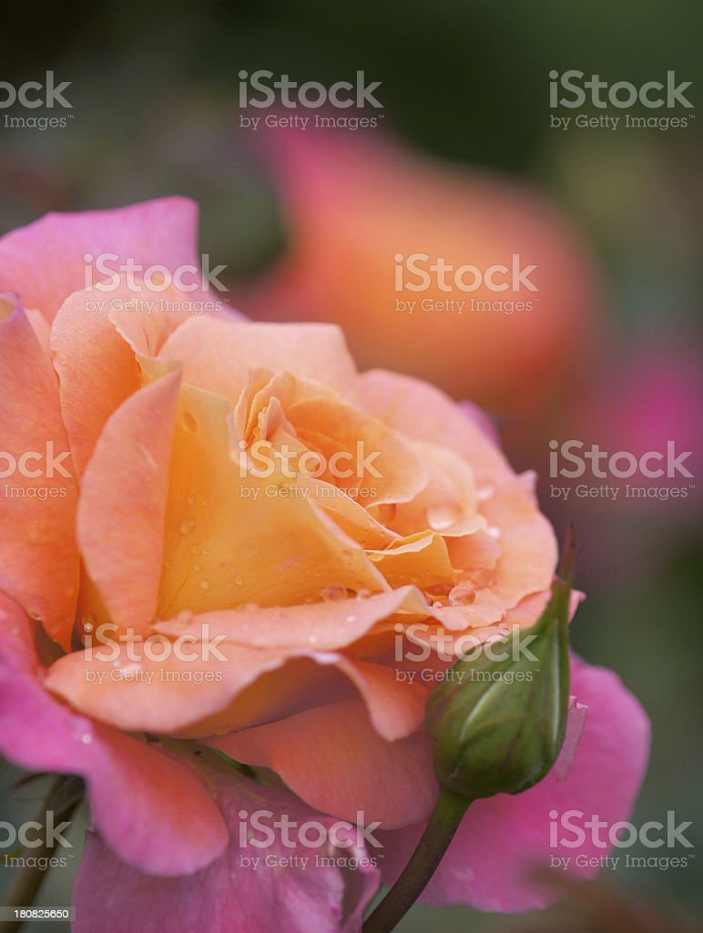 Rose flower with raindrops royalty-free stock photo
