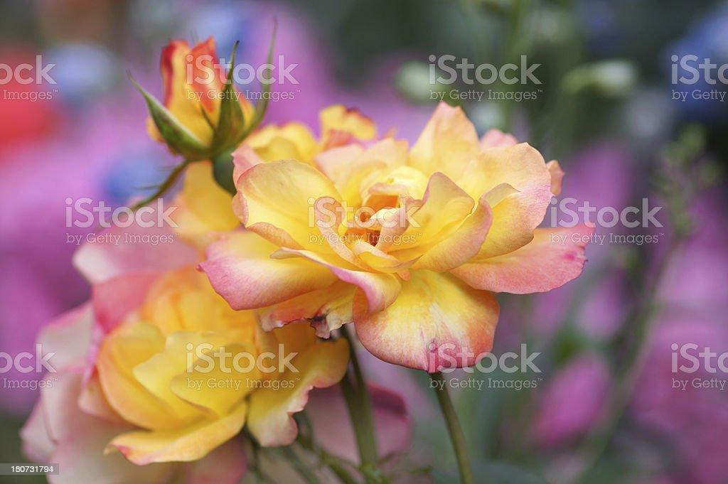 Rose flowers Bonanza and Phlox royalty-free stock photo
