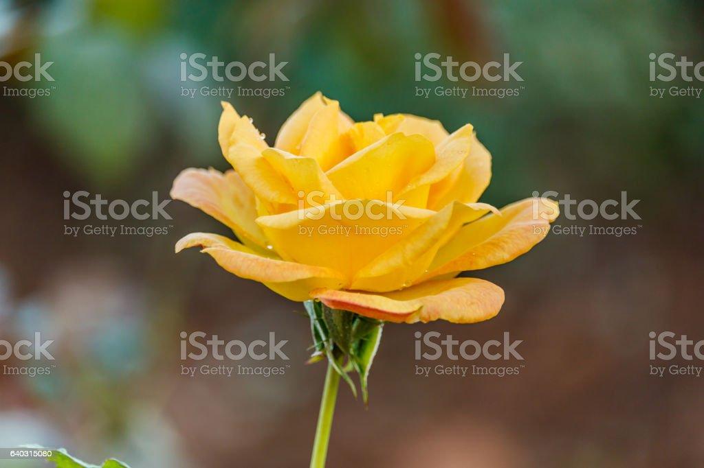 rose flowers in the garden in summer stock photo