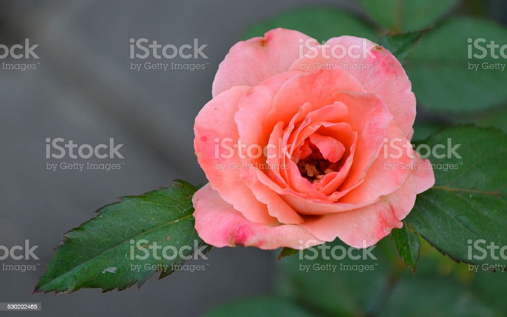 rose for love stock photo