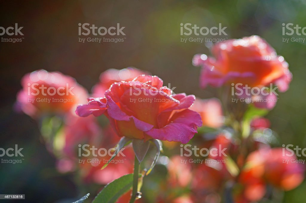 Rose Freisinger Morgenr?te stock photo